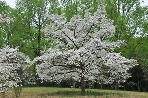 Cornus Florida Flowering Dogwood Tree Grown Peat Free Classy 3l