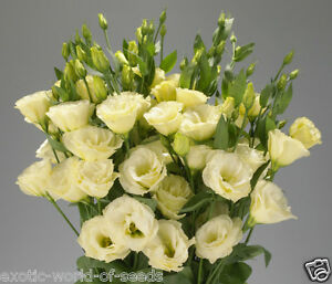 Russian lisianthus eustoma seeds double light yellow flowers f1 image is loading russian lisianthus eustoma seeds double light yellow flowers mightylinksfo