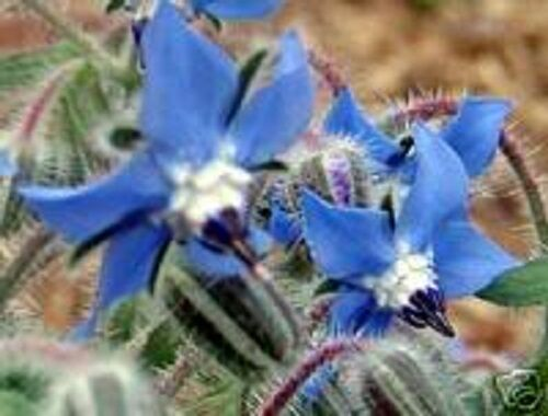 100 BLUE STAR BORAGE Borago Officinalis Herb Flower Seeds *Comb S/H & Free Gift