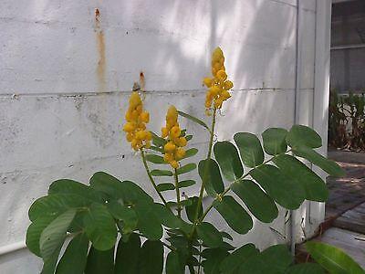 Cassia Alata-Candle Bush Thailand herbs 50 Seeds Yellow Candle Shrimp Senna