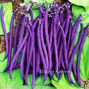 BUSH-BEAN-PURPLE-TEEPEE-80-seeds-Phaseolus-vulgaris-HIGHLY-YIELDING-VARIETY