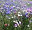 Cornflower-Polka-Dot-Mixed-Centaurea-Cyanus-5g-Approx-1000-Flower-Seeds thumbnail 2