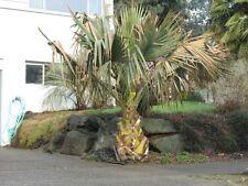 Sabal causiarum - Palmettopalme - 5 Samen - Palmen Samen