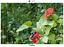 Viburnum lantana 50 semillas seeds Lantana