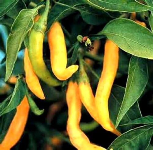 Free Gift /& Combined S//H! GREAT BRIGHT COLOR Golden Cayenne Hot Pepper