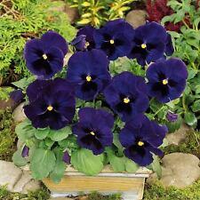 PANSY Viola Swiss Giant Ullswater Seeds (F 298)