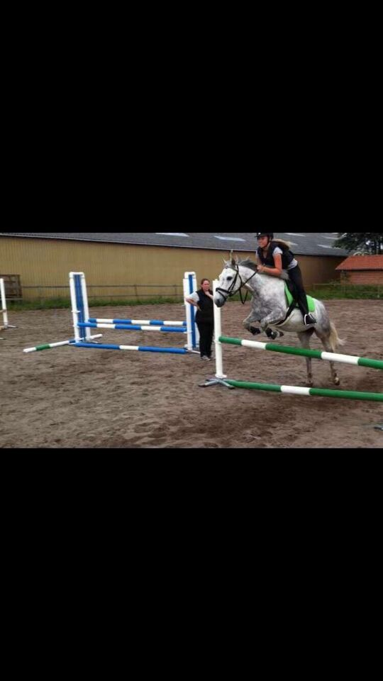 Irsk Sports Pony, vallak, 12 år