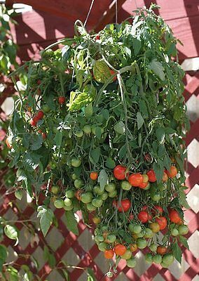 TUMBLING TOM RED TOMATO 25 SEEDS CASCADES OF TINY CHERRY TOMATOES HANGING DOWN