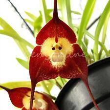 "10x Colors Mixed Rare Monkey Face Orchid Flower Seeds ""Dra Cula Simia"" ""Dracula"""