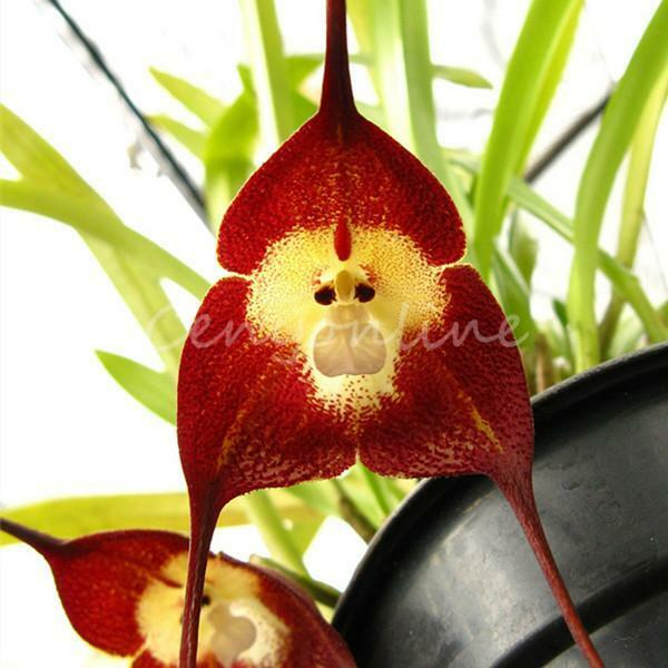 "5 Colors Mixed Rare Monkey Face Orchid Flower Seeds ""Dra Cula Simia"" ""Dracula"""