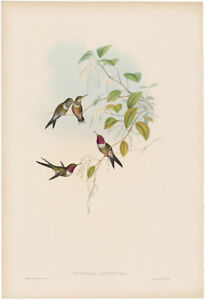 Gould Hummingbirds antique h/c lithograph w/gold leaf Pl 159 The Amethyst