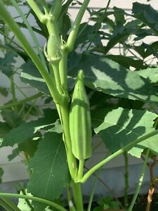 Orka Seeds [hạt giống đậu bắp] - 100 count