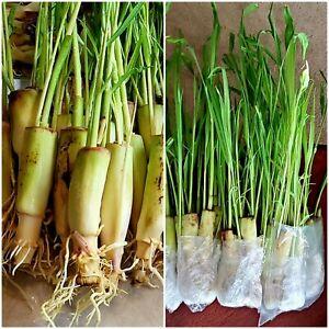 5 Lemongrass LIVE STALKS EASY TO PLANT, Mosquito Repellent, PERENNIAL
