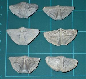 "6 Devonian Brachiopod ""The Winged Brachiopod"" 33-39mm, #S2977"