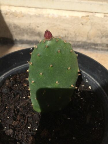 Cactus opuntia ficus-indica One prickly pear pad Freshly cut Will grow and fruit