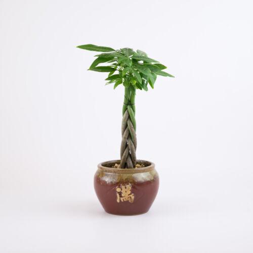 Indoor House Plant in a /'Abundance/' Glazed Round Planter Money Tree