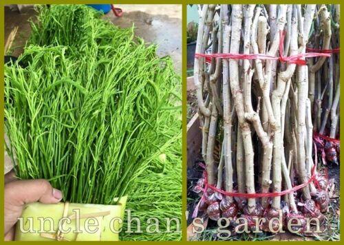 "4x12"" Coupe avec Racine Cha-OM Acacia Senegalia Stenophylla Fresh Thai Miracle"