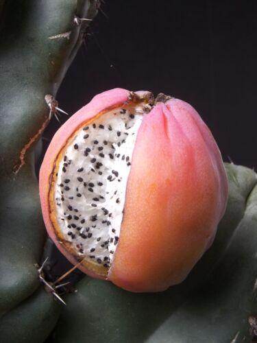 Cereus peruvianus MONTROSE night blooming cactus fig edible fruit seed 60 SEEDS
