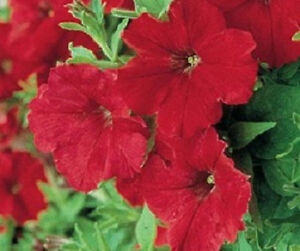 50-Petunia-Seeds-Supercascade-Red-Pelleted-Petunia-Seeds