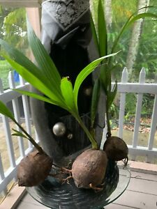 1-Coconut-Tree-Live-Plant-Tropical