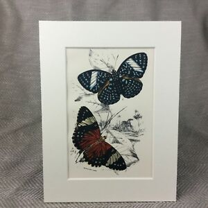 1897-Antique-Butterfly-Print-Ageronia-Arethusa-Amphinome-Victorian-Butterflies