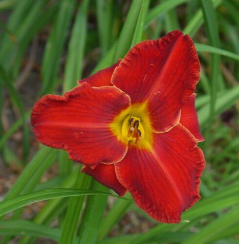 Daylily Plant Kent/'s Favorite Two II 2 Rebloom Perennial DF Kirchhoff-D Red