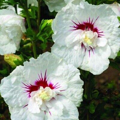 STARTER PLANT HIBISCUS SYRIACUS /'BALI/'