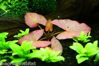 Nymphaea Rubra Bulb - Live Aquarium Plants Dwarf Water Lily 99.9% Sprouted Rates