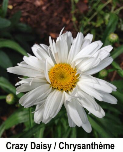 Cadeau Gratuit Double SHASTA CRAZY DAISY 40 graines Chrysanthemum Leucanthemum Comb S//H