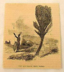 1859-magazine-engraving-THE-EUPHORRIA-TREE-NATAL
