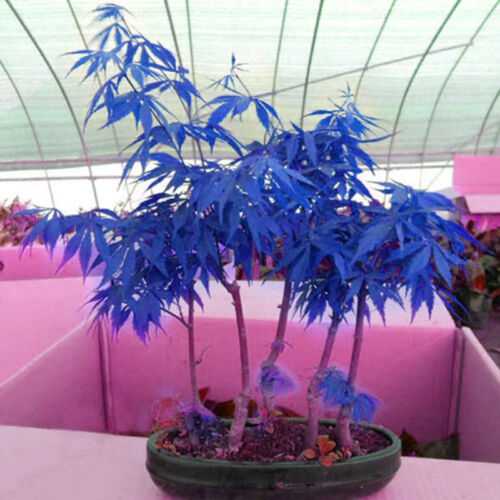 10X Rare Blue Maple Seeds Small and beautiful Bonsai Tree Plants Potted^