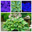 100 PCS Seeds Mix Color Hosta Plants /'Whirl Wind/' In Full Shade Flowers Bonsai X