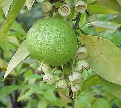 Tahiti Lime Citrus × latifolia Tree 5L Sapindales Rutaceae Grafted Stem 40-60cm
