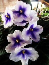 African violet plant LEAF leaves cutting BLOOMLOVER'S EXPLOSIAN