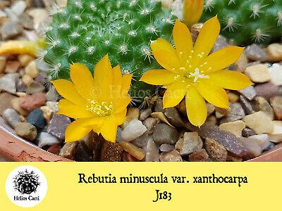 Cactus Seeds Rebutia minuscula /'xanthocarpa/' J183