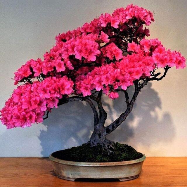 10pcs Japanese Sakura Cherry Blossom Flower Seeds Garden Bonsai