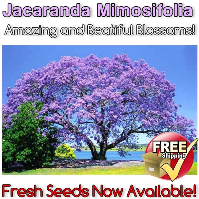 Jacaranda Tree 10 SEEDS Amazing & Beautiful Ornamental Purple Mimosifolia Plant