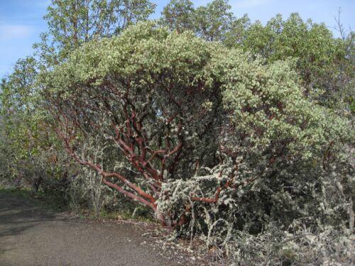 Arctostaphyllos viscida WHITE LEAVED MANZANITA Exotic SEEDS!