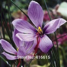 Chinese Medicine Plant Herb Seeds Crocus sativus: Saffron Crocus Seeds Easy