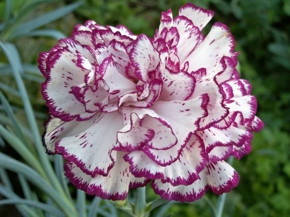 Carnation Mixed Colours -  25 seeds - (Chabauds)