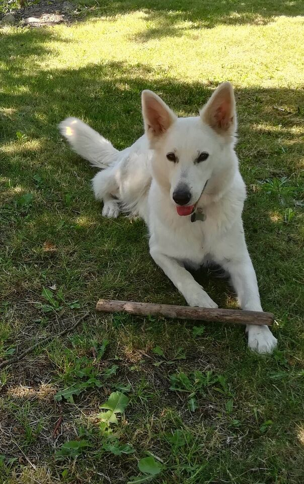 Hvid Schweiz hyrdehund, hvalpe, 1 uge