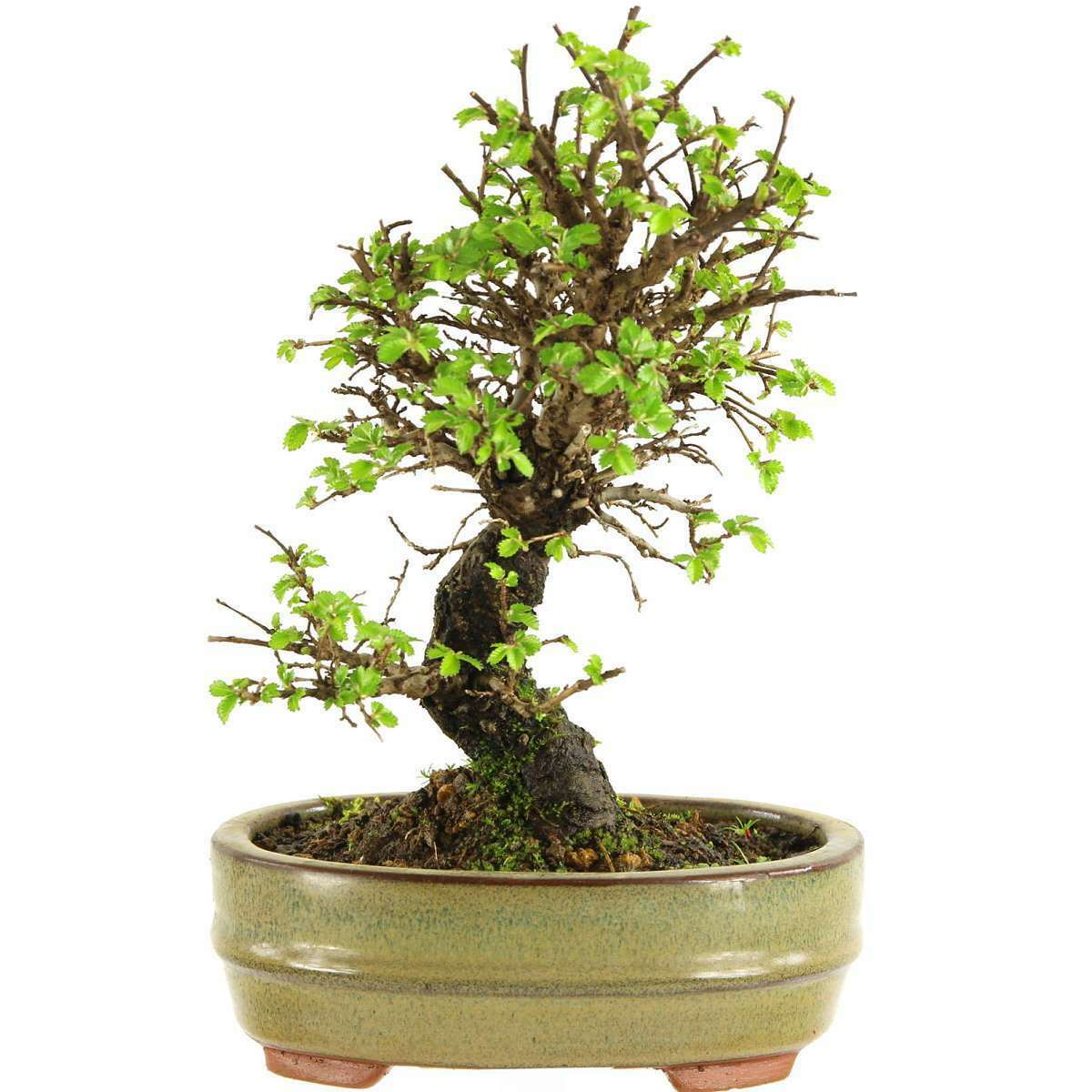 Japonesa olmo, bonsai, 9 años, 24cm (093-97)