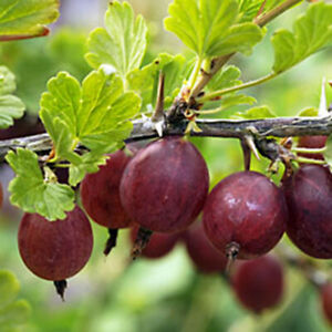 1 Hinnomaki Red gooseberry live rooted starter plant ...