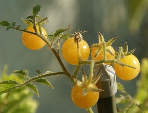 Tomatensamen der Sorte Champagner Cherry, 12 Stück
