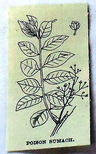 1886-small-magazine-engraving-POISON-SUMACH-flowering-amp-leaves-sumac