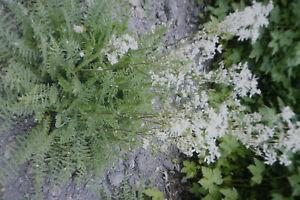 30 Samen knolliges Mädesüß,Filipendula vulgaris #822
