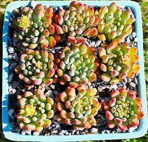 10-units-succulent-Echeveria-blue-apple-nature-colored-usa-free-shipping