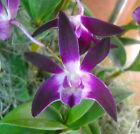 Dendrobium Tosca 'Shiraz Ice', orchid plant
