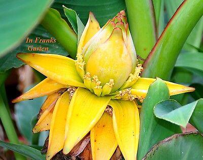 Musella lasiocarpa @ Yunnan Zwerg-Banane @frosthart@golden Lotus Banane@30 Samen