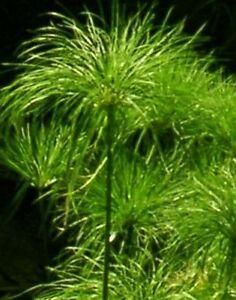 40-Samen-ECHTER-Cyperus-PAPYRUS-Agypt-Papierpflanze-dekorative-Zimmerpflanze